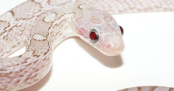 Lavender Pewter Corn Snake Snake Breeds Corn Snake Baby Snakes