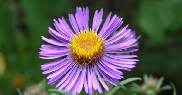 Native Michigan Plant Aster Novae Angliae Common Name New England Aster Synonym S Symphyotrichum Novae A Landscaping Plants Large Flowers Beautiful Blooms