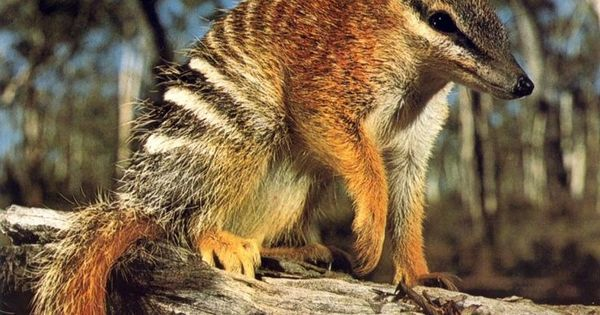 Numbat - A Marsupial Native to Western Australia | Animals ...