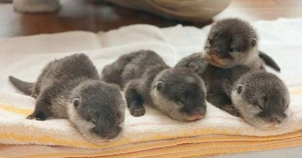 Adorable baby otters! I officially want one for a pet!