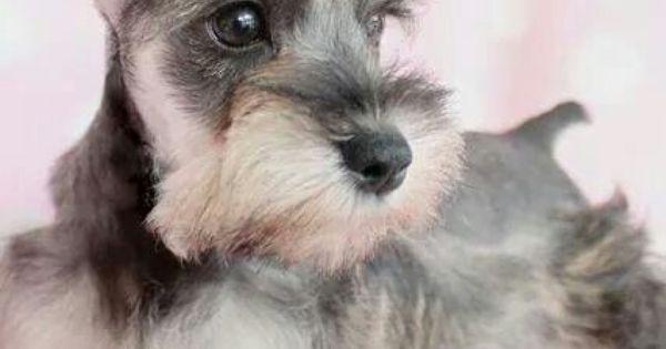 Nauzer Mini Schnauzer Puppies Schnauzer Puppy Schnauzer