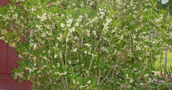 Menu For Olive Garden: Sweet Olive, Fragrant Tea Olive (iOsmanthus Fragrans/i