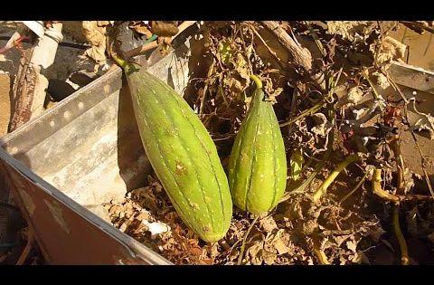 زراعة الليف لوف اسفنجة الاستحمام من البذور في المنزل Growing Luffa Sponges From Seed Youtube Plants Farm Condiments