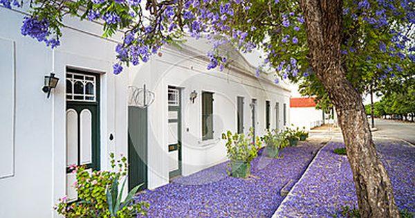 Jacaranda Tree Graaff Reinet South Africa Stock Photo Image Of Blossom Graaffreinet