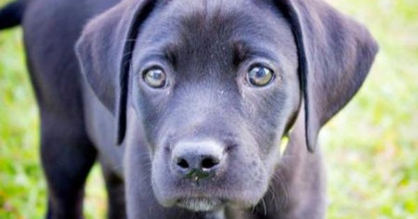 Riley The Labrador Mix Labrador Mix Labrador Puppies