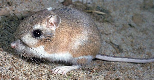 Ord's Kangaroo Rat   Photo: Ord's Kangaroo Rat, Dipodomys ...