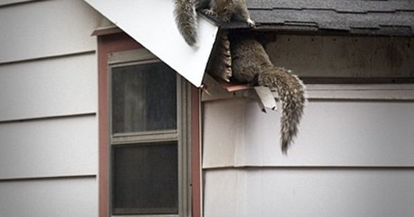 Raccoon On Top Of The Roof Trying To Sneak In Get Rid Of Squirrels Attic Renovation Attic