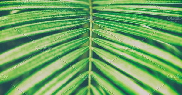 Palm leaf – Palm leaf close-up. Abstract Natural Background and Texture