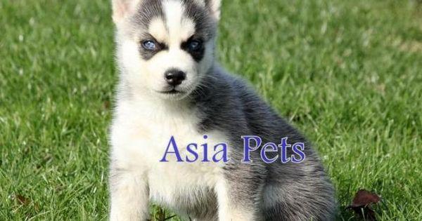Siberian Husky Puppy For Sale In Vizag At Best Price Husky Puppies For Sale Husky Puppy Siberian Husky