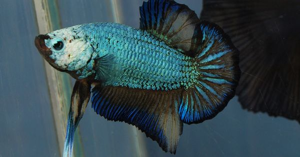 Halfmoon plakat betta fish how to take care of a betta for Baby betta fish care