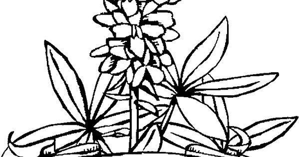 bluebonnet flower coloring page - bluebonnet coloring page the image kid