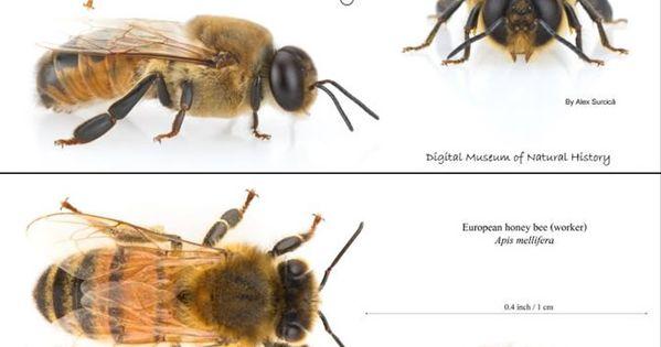 Comparison between drosophila and honeybees