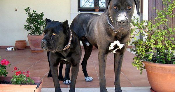 154522184 E501723bdc Jpg 500 374 Pixels Dog Pictures Family Pet Cane Corso