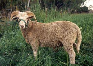 Santa Cruz Sheep Unique Spring Fiber Breed Developed In