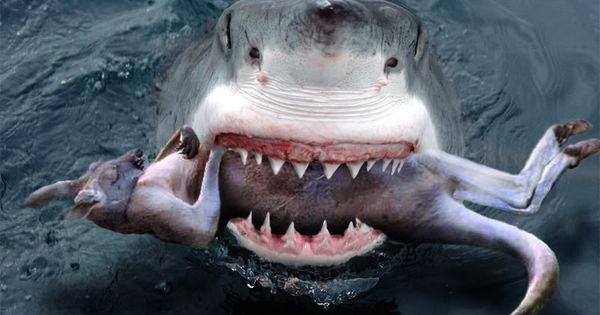 Amazing Shark Images Great White Sharks Australia Outback Snack Sharks Pinterest