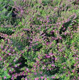 Cuphea Floriglory Diana Mexican Heather Hearty In Zone 9b Trinity Fl Trees To Plant Plants For Planters Plants