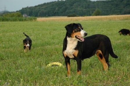 Entlebucher Sennenhund Betziweid Animaux Chien Bouvier