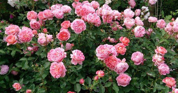 princess alexandra of kent rose roses pinterest princess alexandra princesses and roses. Black Bedroom Furniture Sets. Home Design Ideas