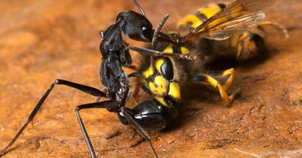 Myrmecia Pyriformis Bull Ant Taking Out A European Wasp