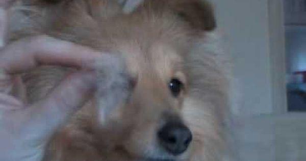How To Trim And Shape Up Sheltie Ears Shetland Sheepdog Shetland Sheepdog Blue Merle Sheepdog