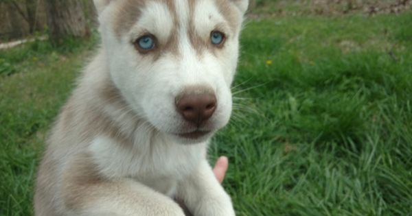 Litter Of 3 Siberian Husky Puppies For Sale In Charleston Il Adn