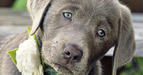 Silver Labrador - so pretty! I've never seen one before...