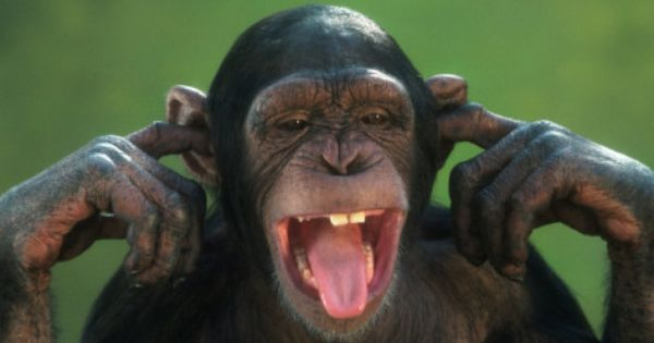 Chimpanzee with its Fingers in its Ears Photographic Print by ...
