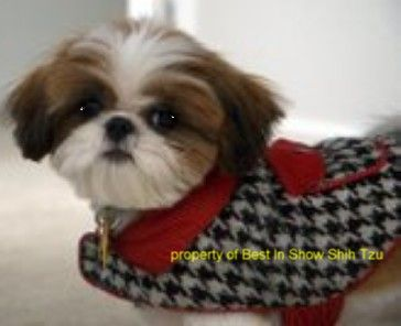 I Am A Georgia Shih Tzu Breeder Supplying Healthy Happy Puppies In