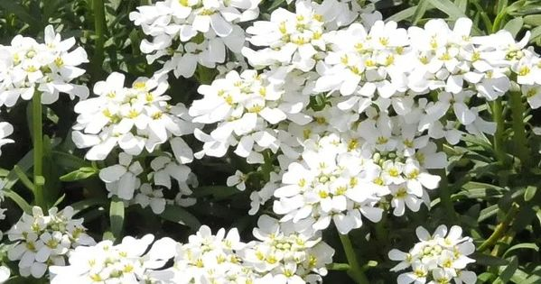 Candytuft Is A Wonderful Spreading Plant That Blooms So Profusely That It Looks Like A Cloud Flowers Emerge In Early Spring And P In 2020 Plants Bloom Spring Pictures
