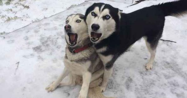 When They Express Their Frustration With Words Siberian Husky