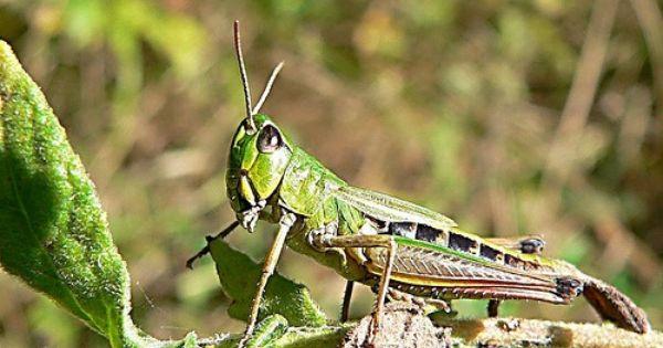 what is a grasshopper diet