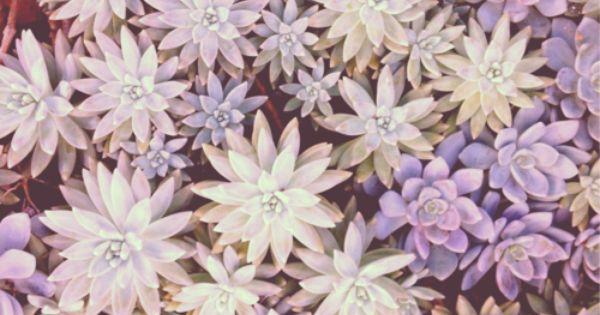 Lavender Succulent plants