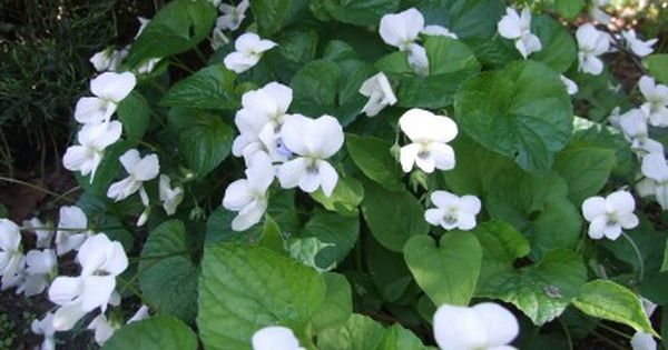 Fiolek Motylkowaty Albiflora Szkolka Skalniak Garden Plants Viola