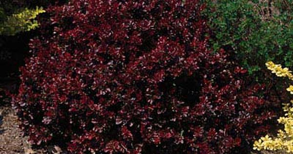 Crimson Pygmy Barberry Dwarf Mounded Crimson Red Shrub