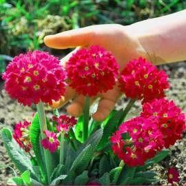Dzwonek Karpacki Dark Clips Blue Campanula Carpatica Albamar Primula Denticulata Primula Sedum