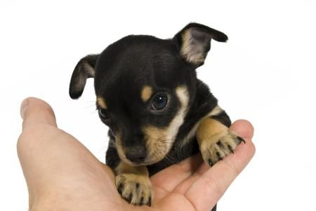 Rat Terrier Chihuahua Mix Ratcha Ratchi Puppies In 2020 With