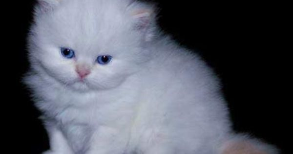 Teacup Persian Cats For Adoption Teacup Male And Female Persian Kittens For Adoption Zambia Kitten Adoption Teacup Persian Cats Cat Adoption