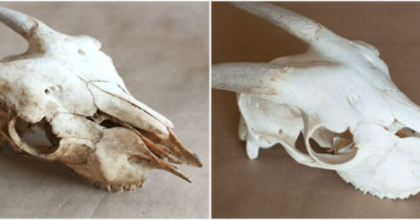 Here S How To Clean Animal Bones So You Can Use Them As Decor Animal Bones Animals Bone Crafts