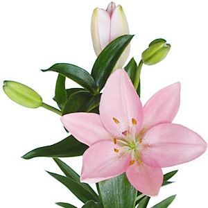 Light Pink Asiatic Lily Asiatic Lilies Light Pink Flowers Lily