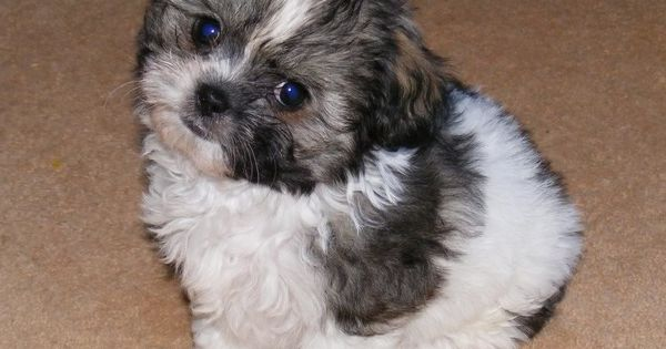 Shih Tzu Haircuts He S A Shih Tzu Cross Chihuahua But I Cava Tzu Cavalier X Shih Tzu Puppies For Sale Sydney Chihuahua Cross In 2020 Shih Tzu Puppy Cute Dogs Puppies