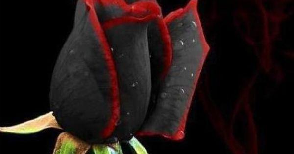 Beautiful Black & Red Rose