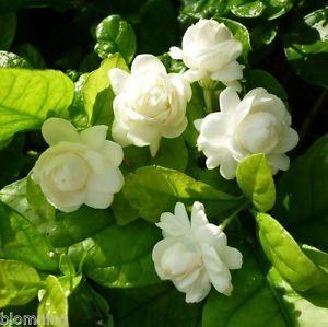 Jasminum Sambac Grand Duke Of Tuscany A Plant Without Flower Ebay Cicek Bahce Duvar Kagitlari