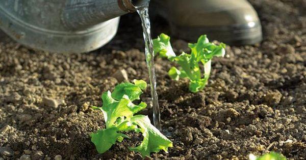 Comment arroser le potager comment l gumes et articles for Arrosage jardin potager