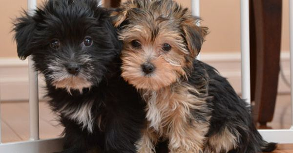shorkie puppies so cute s ta katter och hundar. Black Bedroom Furniture Sets. Home Design Ideas