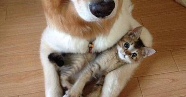 Couldn't resist the cuteness of this Golden and kitten together! dogs cats