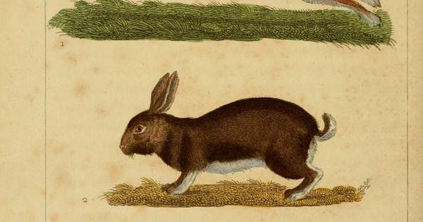 Le Lapin (rabbits), 'Oeuvers Completes de buffon, 1830