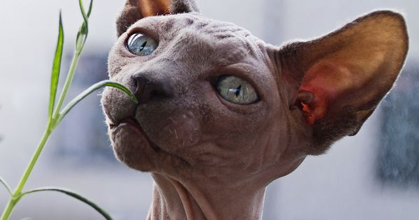 How Old Is My Cat In Human Years Beautiful Cats Hairless Cat Cat Years