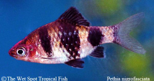 Barbs Black Ruby Barb Pethia Nigrofasciata Black Ruby Tropical Fish Aquarium Fish