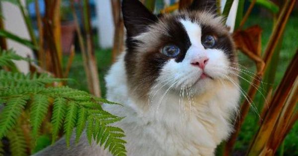 Meet Ling Courtesy Listing A Petfinder Adoptable Ragdoll Cat West Palm Beach Fl You Can Fill Out An Adoption Applicati Ragdoll Cat Long Haired Cats Cats