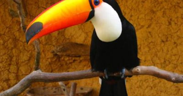 the toucan is an exotic animal that lives in the